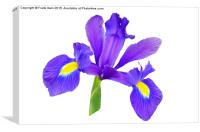 Beautiful Blue Iris, Canvas Print
