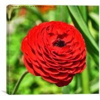 Beautiful red Ranunculus, Canvas Print