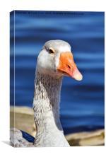 The Pilgrim Goose posing for the camera, Canvas Print