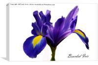 Beautiful Bearded Iris, Canvas Print