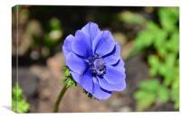 Beautiful blue Anemone, Canvas Print