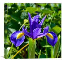 Beautiful Blue Spring Iris, Canvas Print