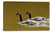 Canade Geese enjoying a sunny paddle., Canvas Print