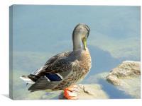 sitting duck, Canvas Print