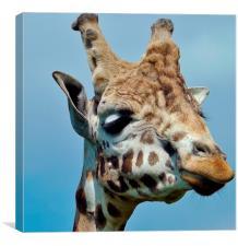 giraffe up close, Canvas Print