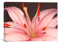 pink lily, Canvas Print