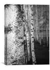Silver Birch, Canvas Print