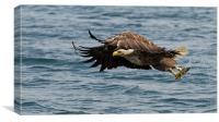 Sea Eagle with Fish, Canvas Print
