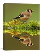 Goldfinch Reflections, Canvas Print