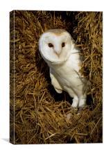 Barn Owl in Straw, Canvas Print