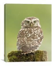 Little Owl in the Rain, Canvas Print