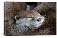 Otter sleeping, Canvas Print