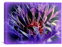 Cornflower , spiky blue, Canvas Print