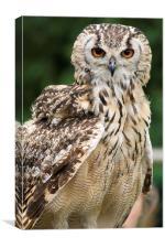 Owl Stare, Canvas Print