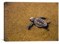 Sea Turtle Hatchling, Canvas Print