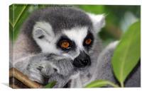Ring Tail Lemur, Canvas Print