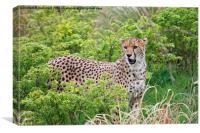 Cheetah 2, Canvas Print