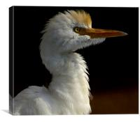 Cattle Egret Portrait, Canvas Print