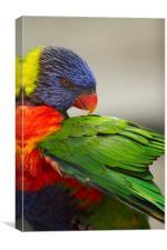 Macaw Preening, Canvas Print