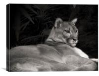 Florida Panther, Canvas Print