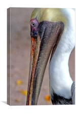 American Brown Pelican, Canvas Print