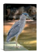 Juvenile Black Crowned Night Heron, Canvas Print