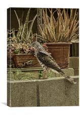 Coopers Hawk On Wall, Canvas Print