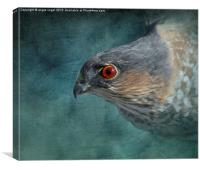 Sharp-Shinned Hawk, Canvas Print