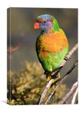 Rainbow lorikeet, Canvas Print