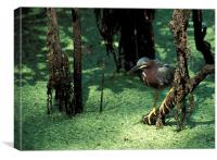 Green Heron, Canvas Print