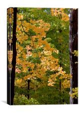 Fall Maples, Canvas Print
