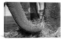 elephant eating, Canvas Print