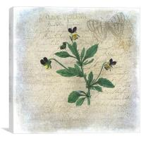 Viola, Canvas Print