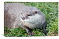 Asian Short Clawed Otter, Canvas Print