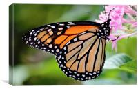 Nectaring Monarch, Canvas Print
