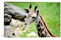 Baby Giraffe Close Up, Canvas Print