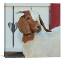 Content Little Goat, Canvas Print
