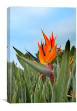 Bird of paradise flower Strelitzia reginae, Canvas Print