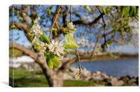 Apple blossoms by the Hudson River New York, Canvas Print
