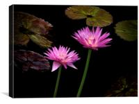 Lotus water lilies, Canvas Print