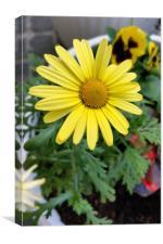 yellow daisy, Canvas Print