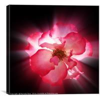 clear red petals, Canvas Print