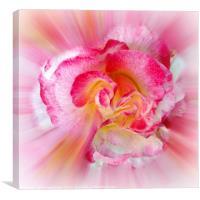 yellow pink Rose, Canvas Print