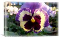 colorful spring Pansy, Canvas Print