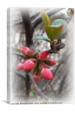 wild quince blooming, Canvas Print