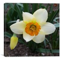 white daffodil shining, Canvas Print