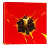 red yellow tulip, Canvas Print