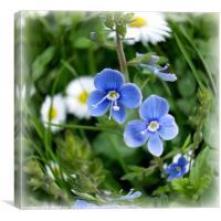 tiny blue flowers, Canvas Print