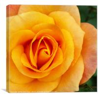 yellow rose blossom, Canvas Print
