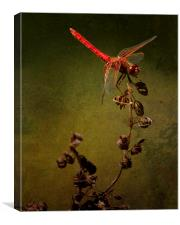 Red Dragonfly on Dead Plant, Canvas Print